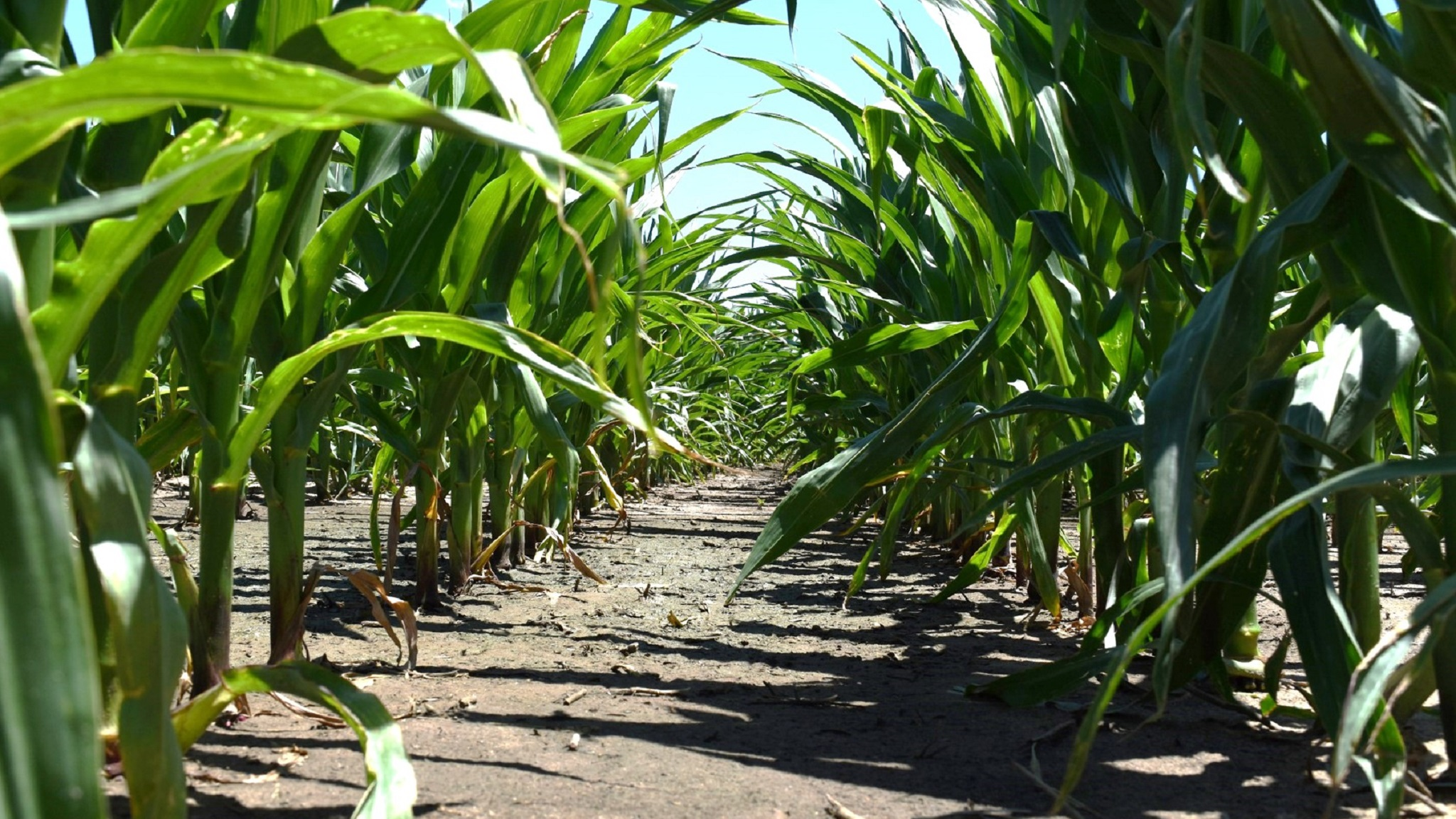 Acuron corn herbicide applied in a split-shot application.