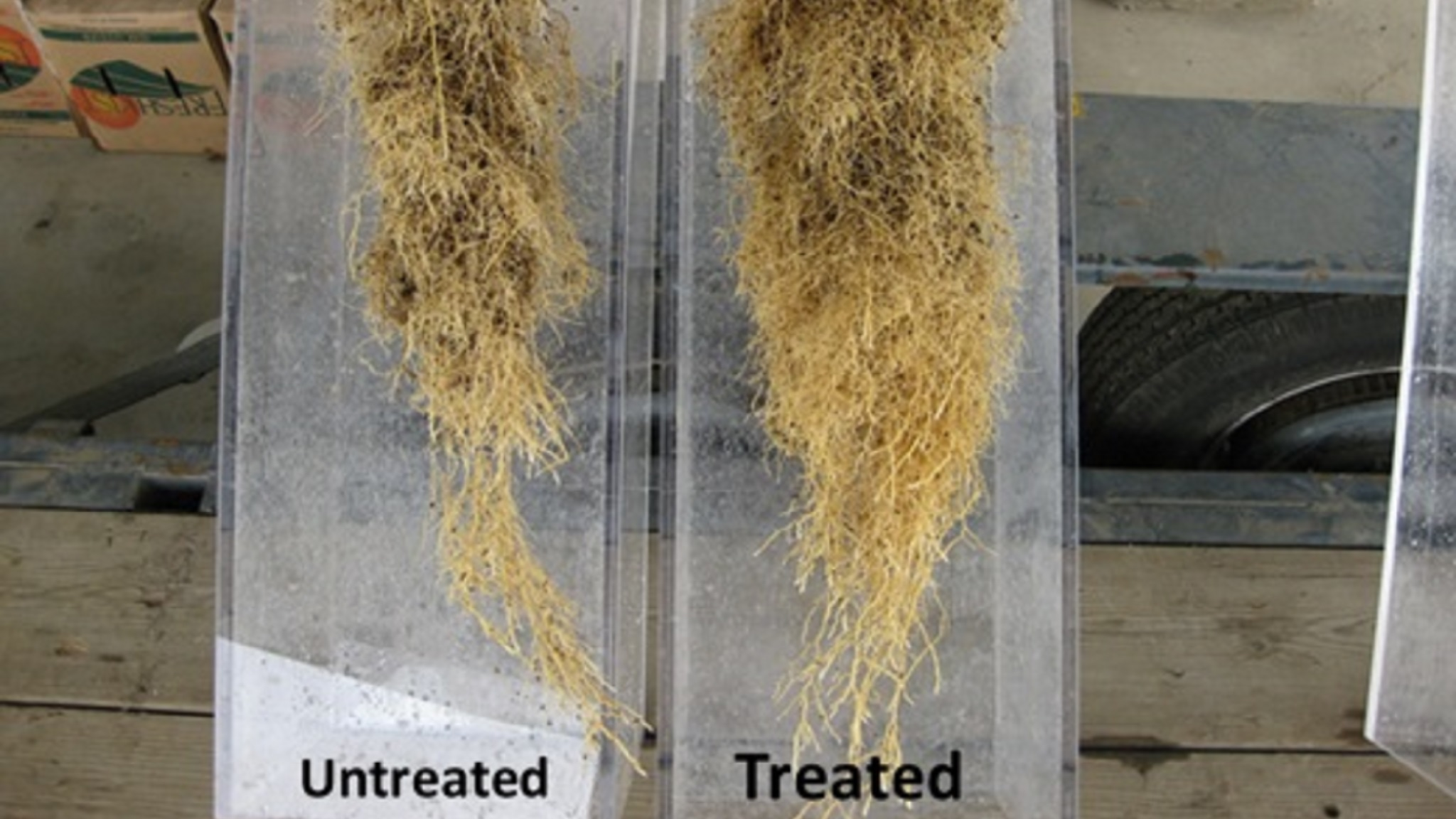Phytopthora can reduce citrus root mass as displayed in the untreated root mass on the left.
