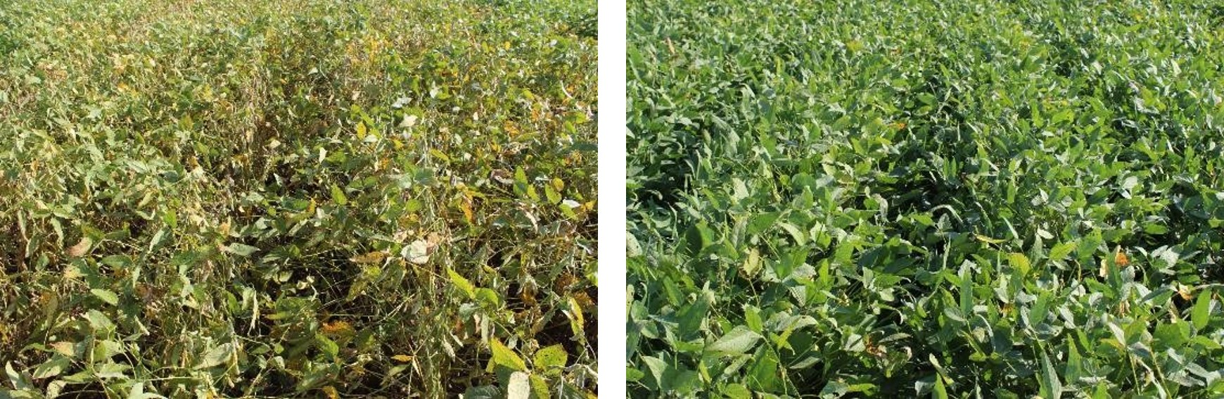 This agronomic image compares untreated soybeans with soybeans treated by Miravis Top fungicide.