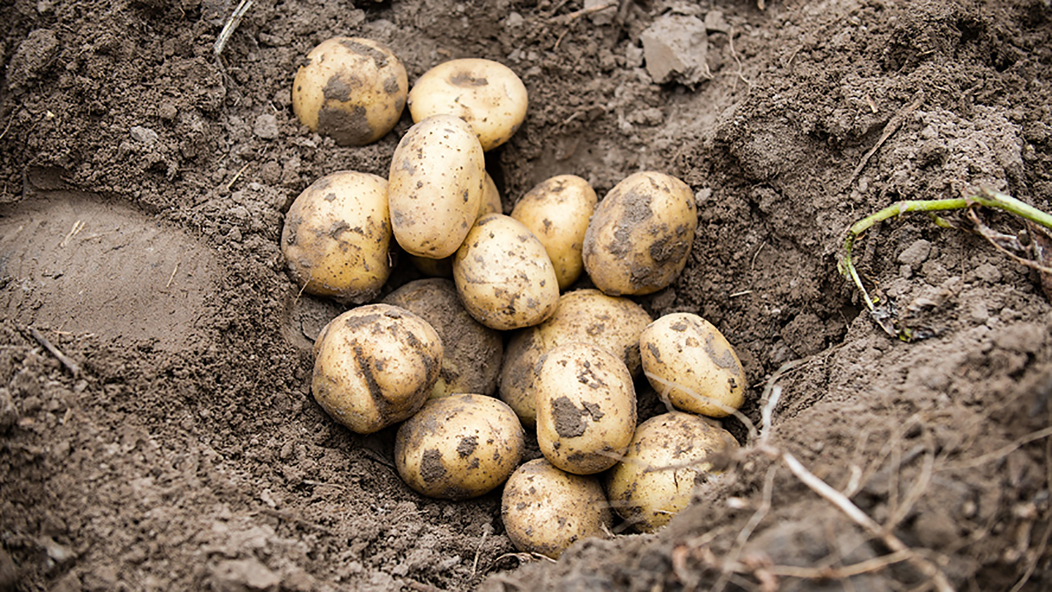 This agronomic image shows potatoes