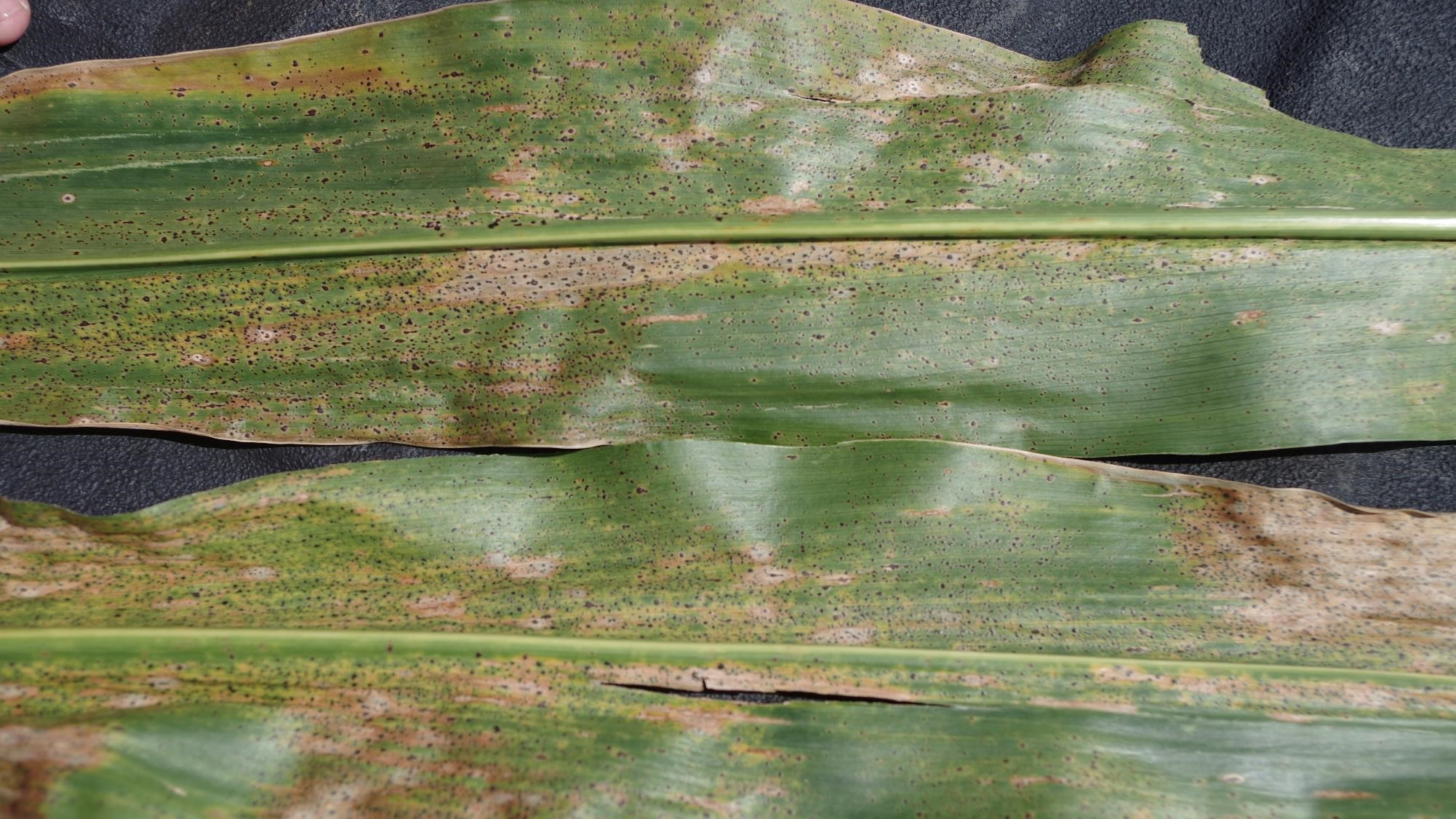 This agronomic image shows tar spot.