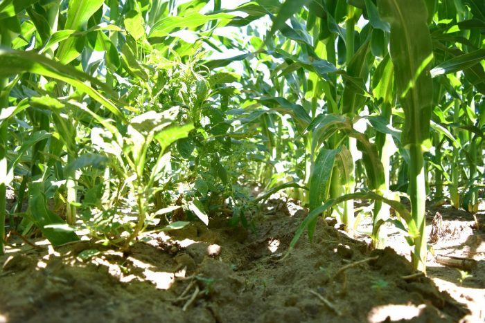A competitive herbicide program failed to control weeds even after 2 applications and a follow-up rescue application.