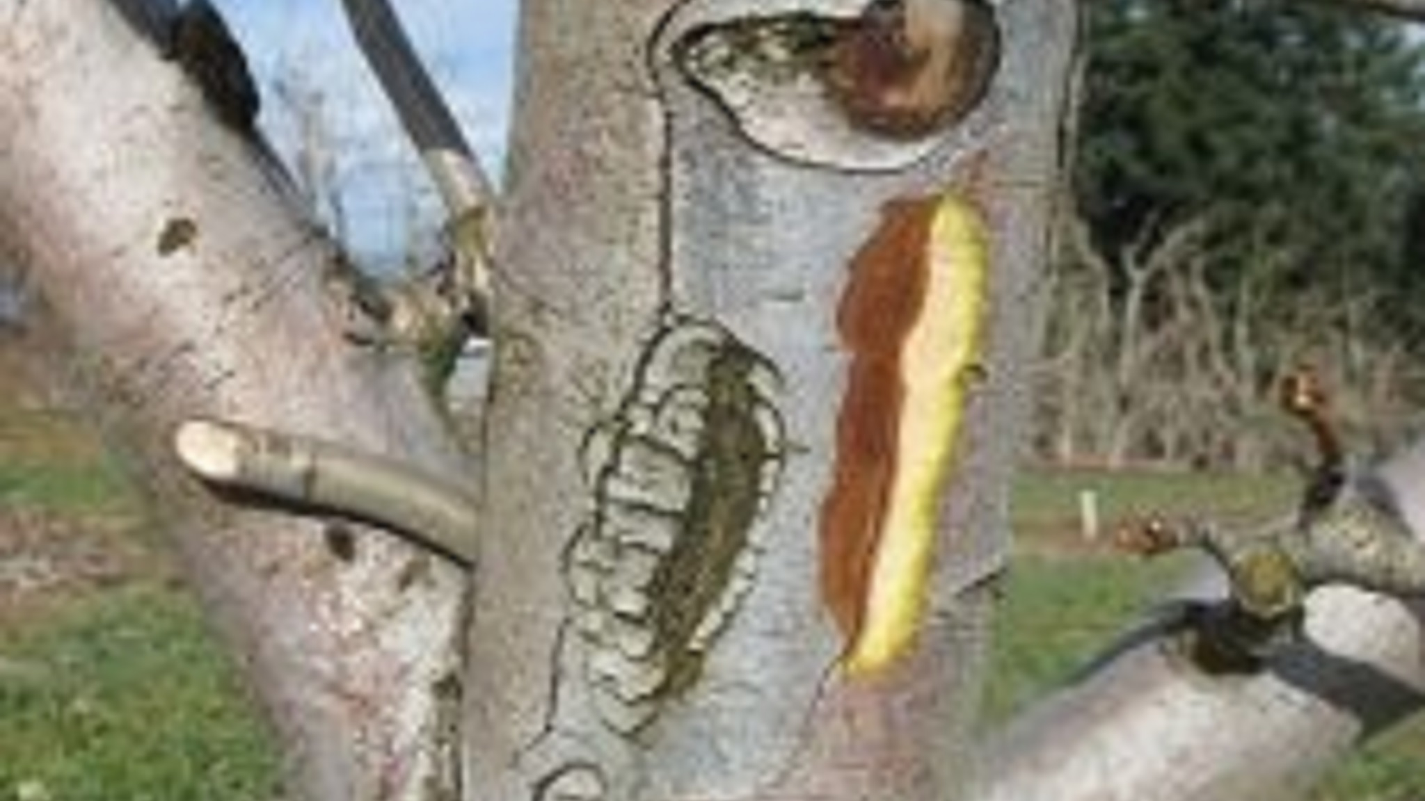This agronomic image shows fire blight damage in pome trees.