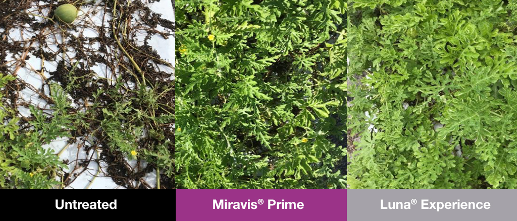 This agronomic image shows Miravis Prime compared to other fungicide products