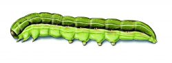 this agronomic image shows beet armyworm