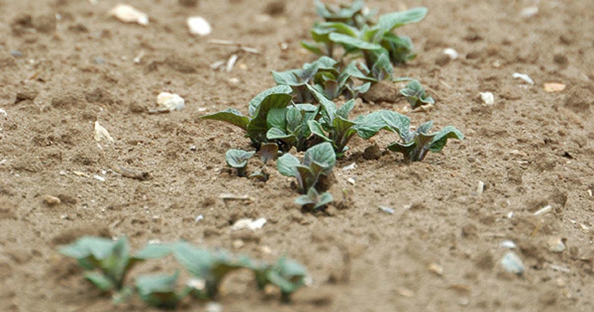 Throughout a growing season, potatoes face varying disease pressure