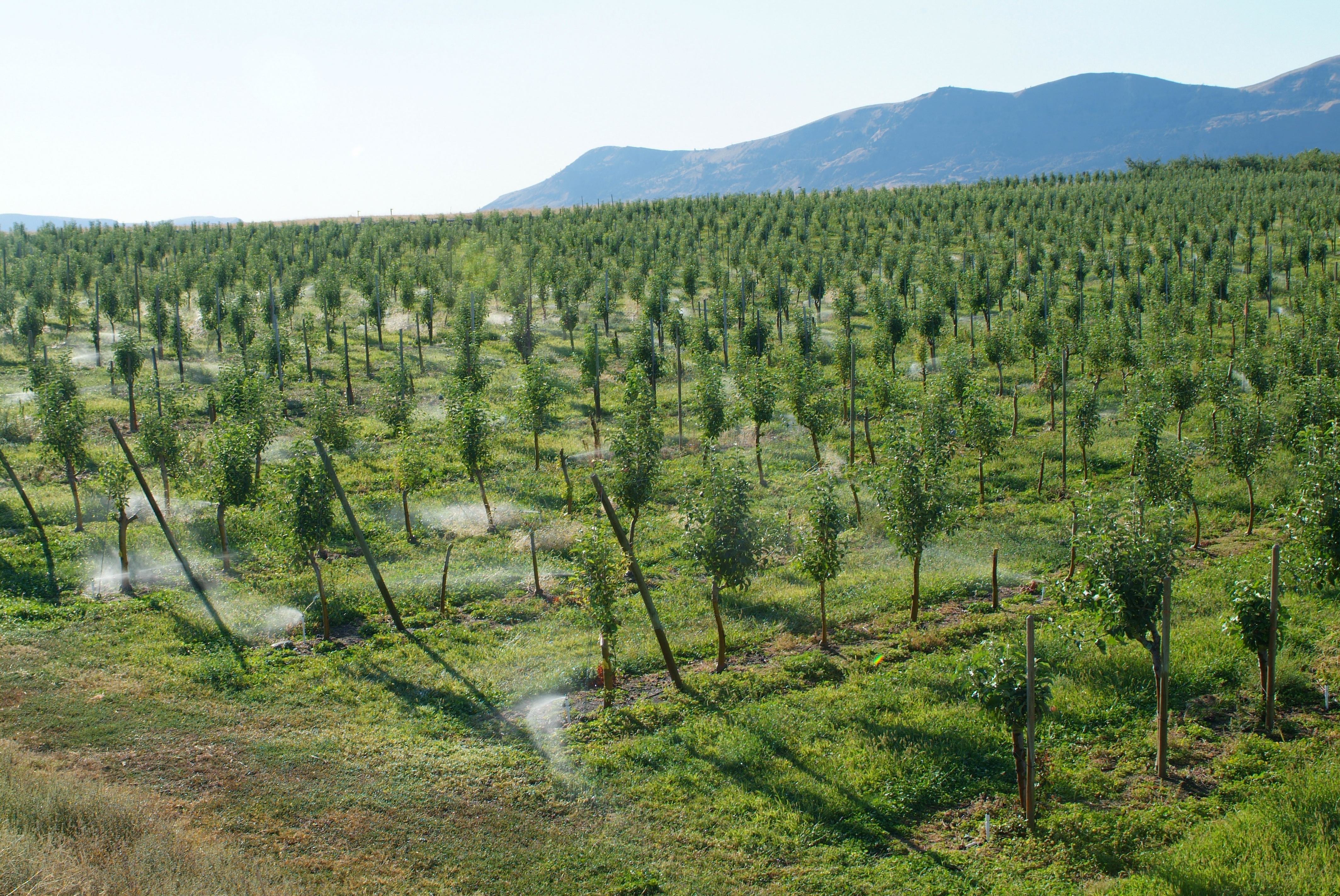 This agronomic image shows a pome fruit field