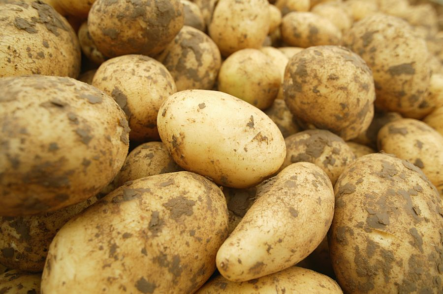 This agronomic image shows Harvested potatoes with soil