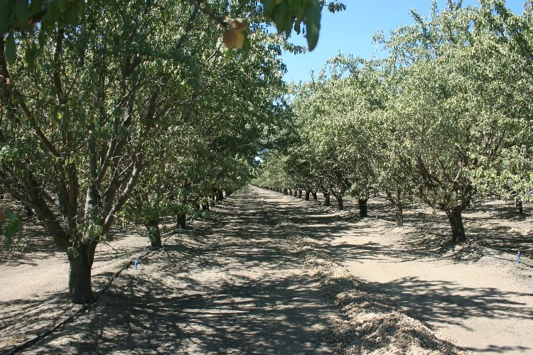 This agronomic image shows almond orchards
