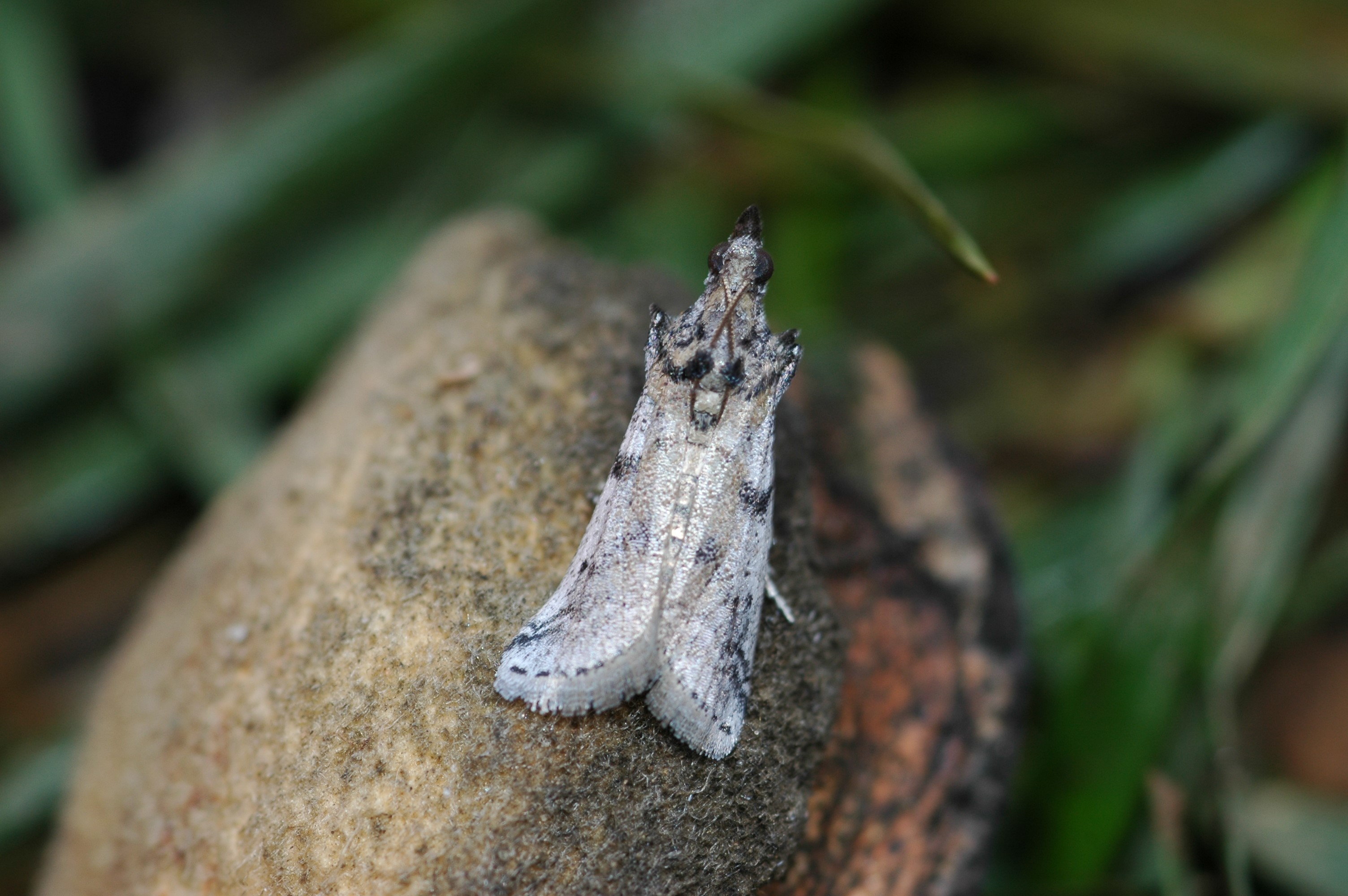 This agronomic image shows naval orangeworm moth