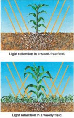 This illustrated image shows Weeds reflect sunlight against crops, triggering a natural response in corn that reduces yield potential.