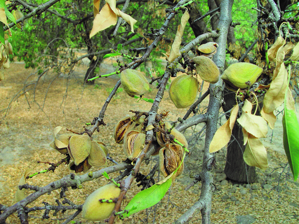 this agronomic image shows hull split in almonds.