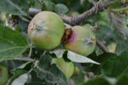 Codling moth damage in apple trees in Ephrata, WA