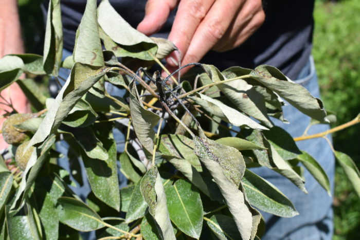 Pear tree branch infected with fire blight in Wenatchee, WA