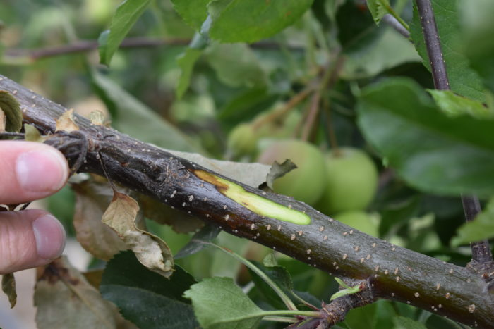 Apple tree shoot infected with fire blight in Ephrata, WA