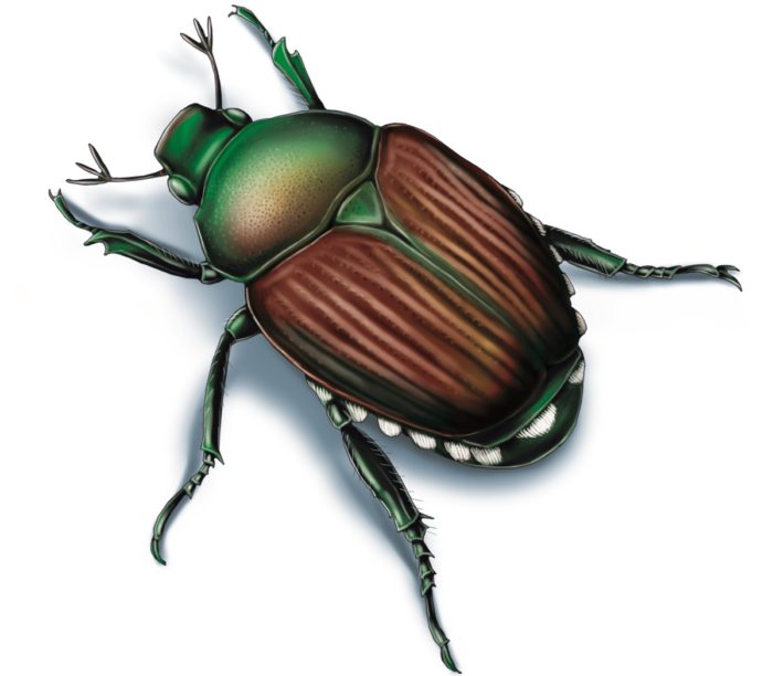 This illustrated image shows a Japanese beetle