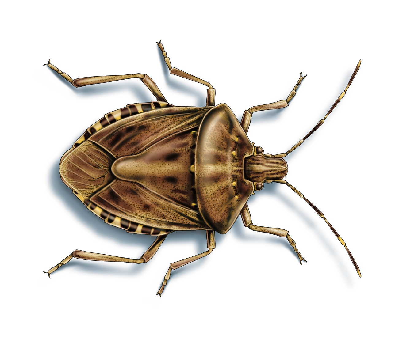This illustrated image shows a marmorated stink bug