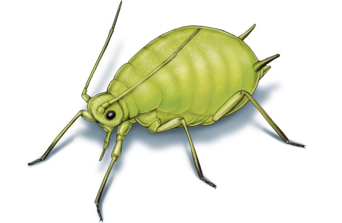 This illustrated image shows a soybean aphid.