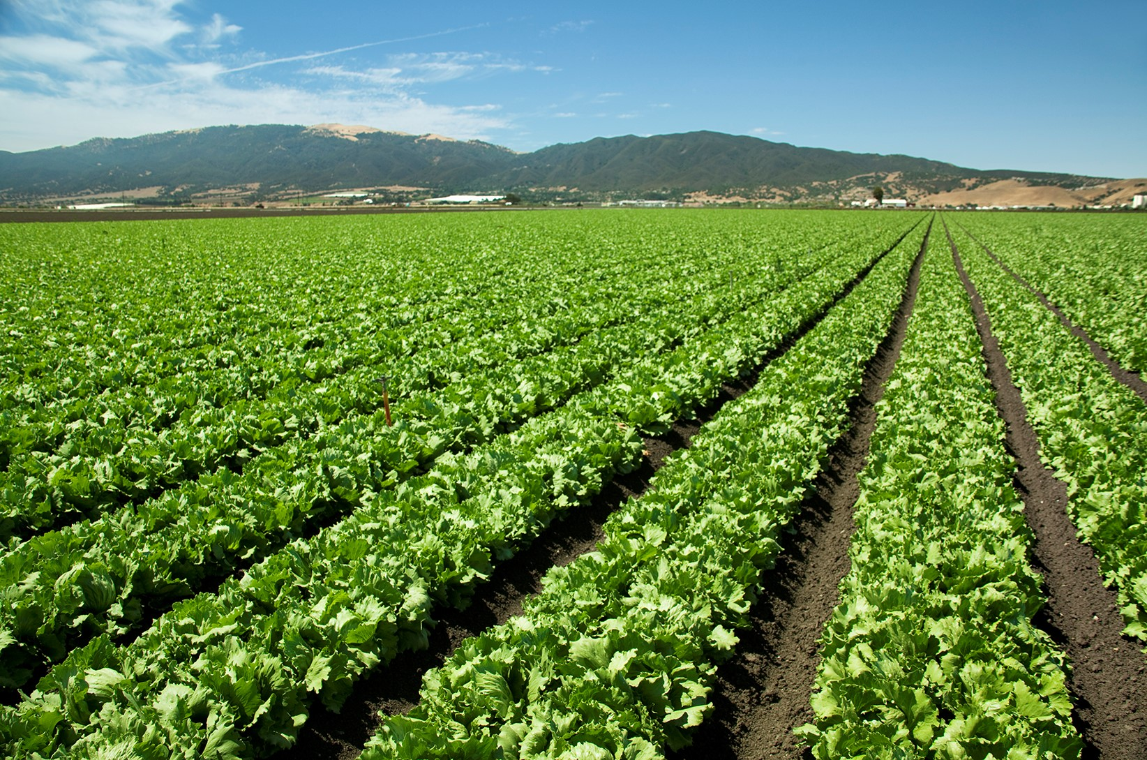 this agronomic image shows a field of lettuce.