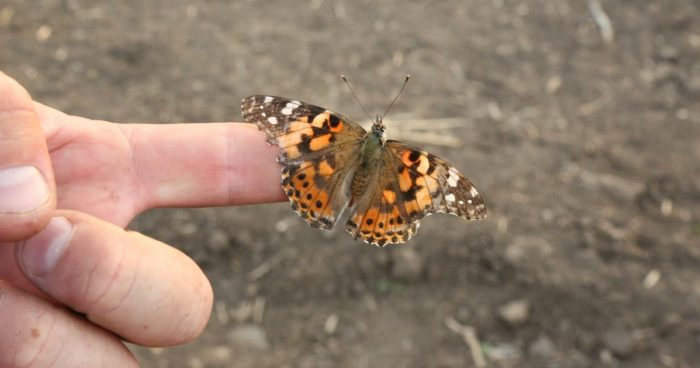 This agronomic image shows an adult thistle caterpillar, the painted lady butterfly