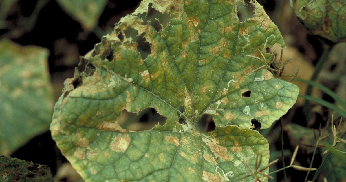 A photo of a cucumber leaf with downy mildew spots.