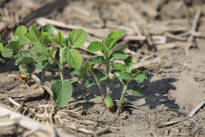 This agronomic image shows soybeans treated with CruiserMaxx Vibrance plus ILeVO®.