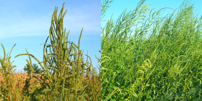 A comparison photo between Palmer amaranth, left, and waterhemp, right, both pigweeds, showing the differences in seed pod length between the two weeds.