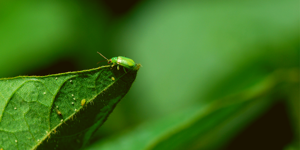 An adult corn rootworm sitting on a leaf.