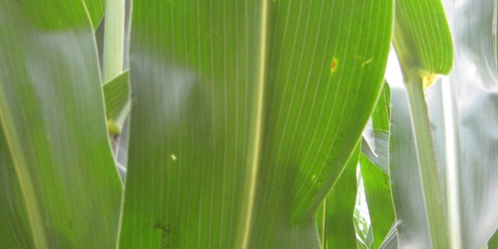 This agronomic image shows Early signs of gray leaf spot on a corn leaf.