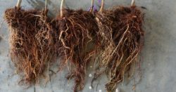 This agronomic image shows almond tree roots treated with Ridomil Gold SL.