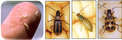 From left to right: Corn rootworm larvae, Western corn rootworm, Northern corn rootworm, Southern corn rootworm.