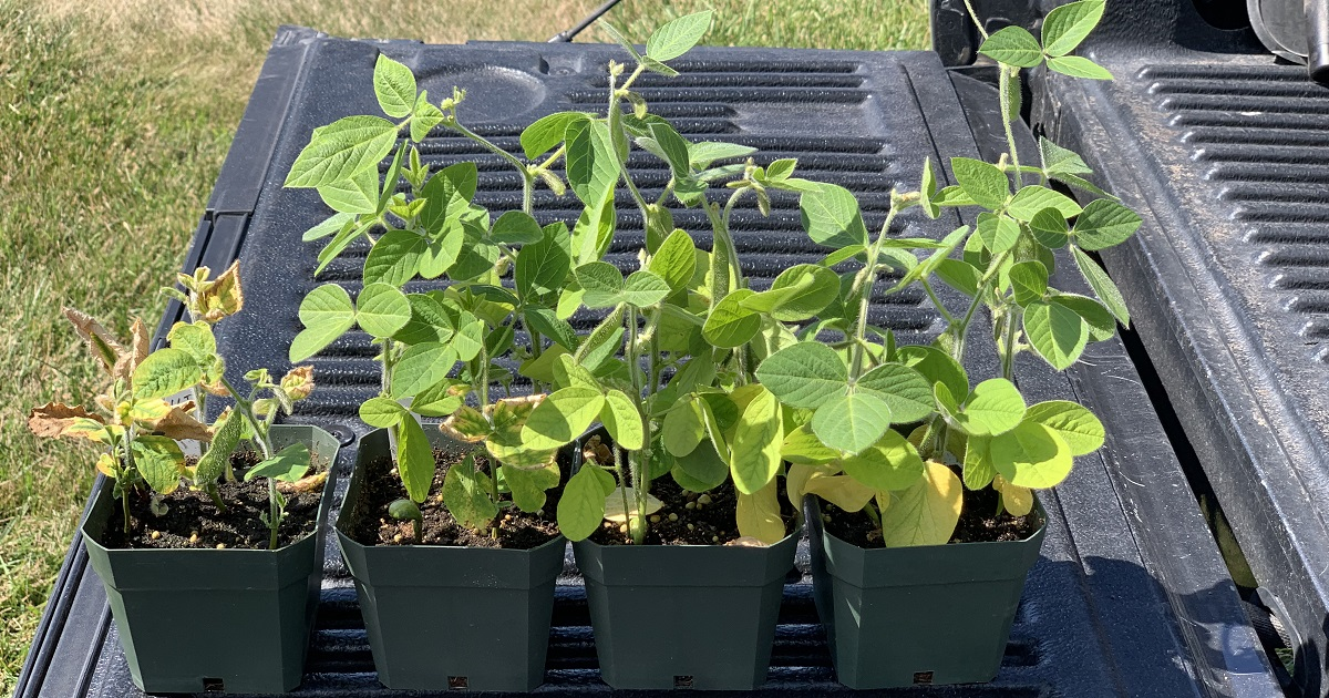 This agronomic image compares Soybeans inoculated with sudden death syndrome (SDS). Treatments from left to right: untreated check; treated with ILeVO® and Acceleron®; treated with ILeVO and CruiserMaxx® Vibrance® Beans; treated with Saltro® fungicide.