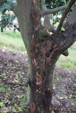 this agronomic image shows a citrus tree bark damage caused by phytophthora