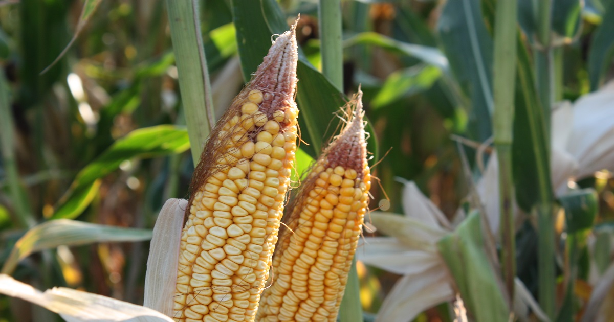 Ears of corn from plants in a field treated with a post-emergence-only application of Acuron showed effects of early-season weed pressure.
