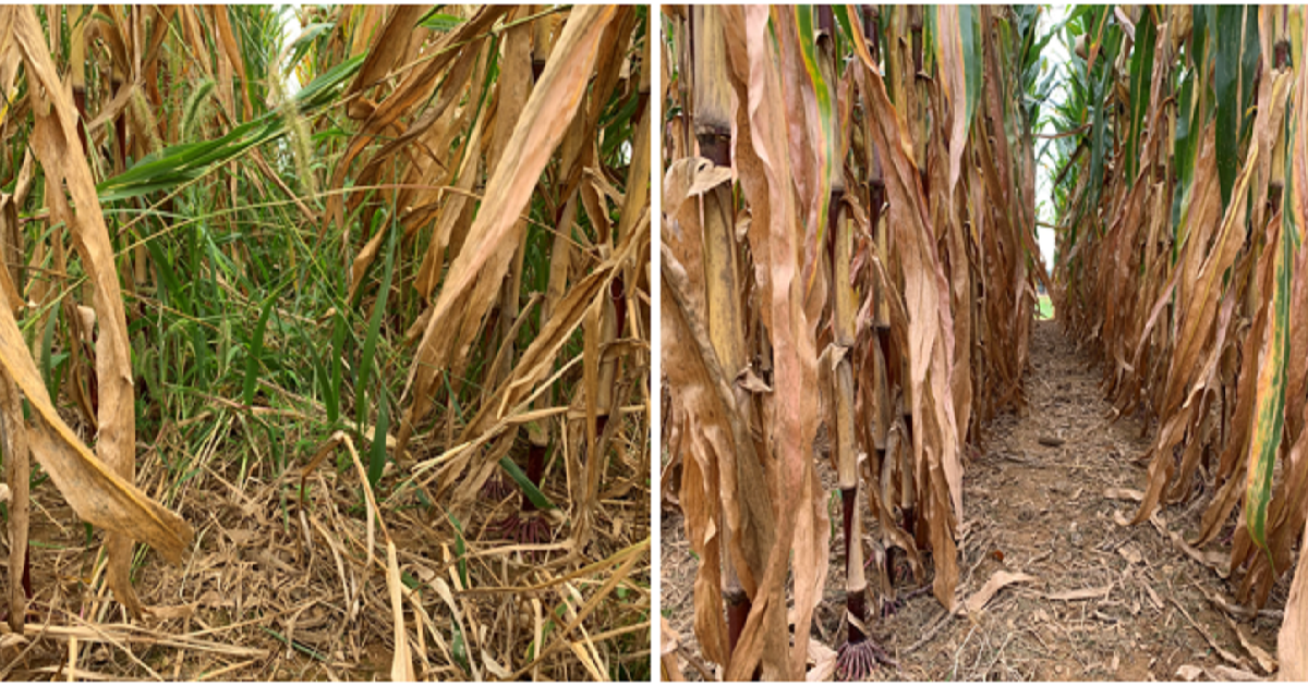 This agronomic image shows A generic herbicide (left) versus Acuron® herbicide followed by Halex® GT herbicide (right).