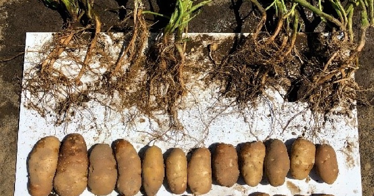 This agronomic image shows young and adult potatoes from the Ephrata, WA Grow More Experience site