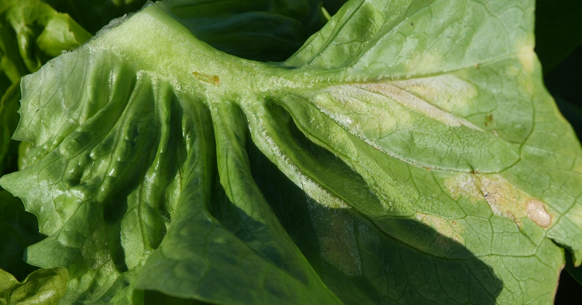 This agronomic image shows downy mildew in lettuce