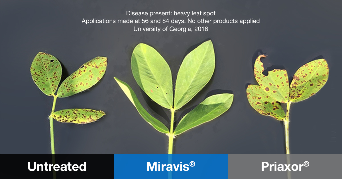 this agronomic image shows peanut leaf spot comparison in University of Georgia trial
