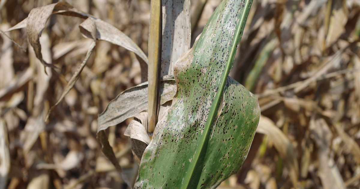This agronomic image shows tar spot in soybeans.