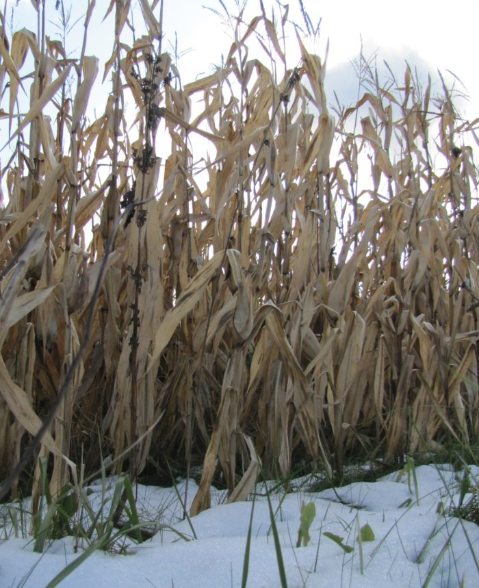 This agronomic image shows snow in Midwest corn fields