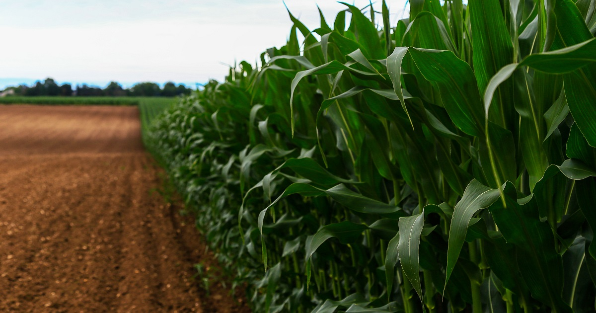 this agronomic image shows corn stalks in a field