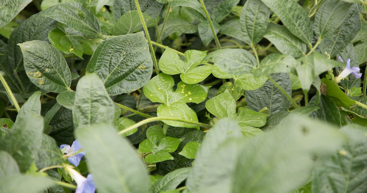 This agronomic image shows ivyleaf morningglory