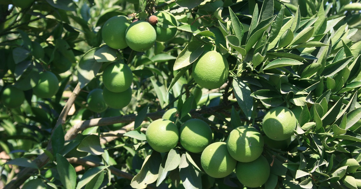 This agronomic image shows limes.