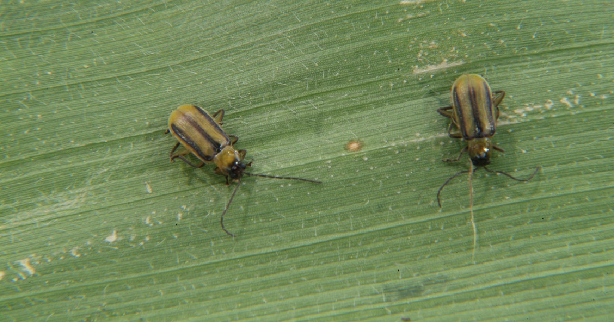 This agronomic image shows corn rootworm