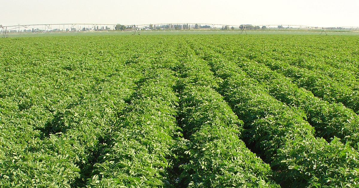 This agronomic image shows a potato field.