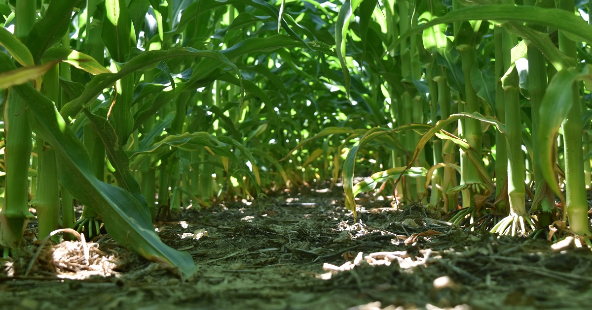 Acuron® corn herbicide applied preemergence at the full labeled rate with glyphosate. Photo taken 50 Days after treatment.