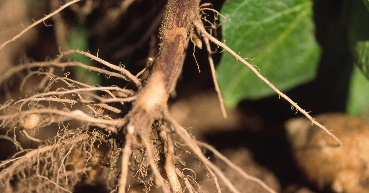 Rhizoctonia damage in potatoes