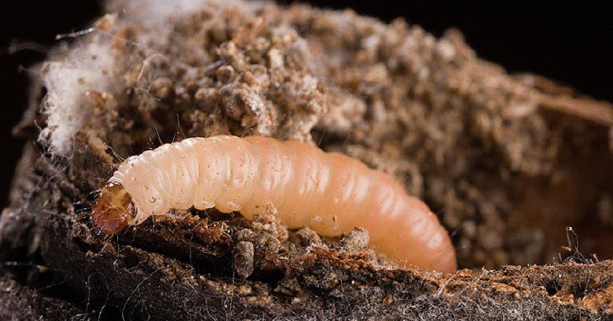 This agronomic image shows naval orangeworm