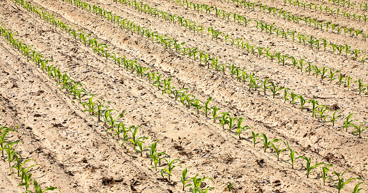 THis agronomic image shows young corn rows.