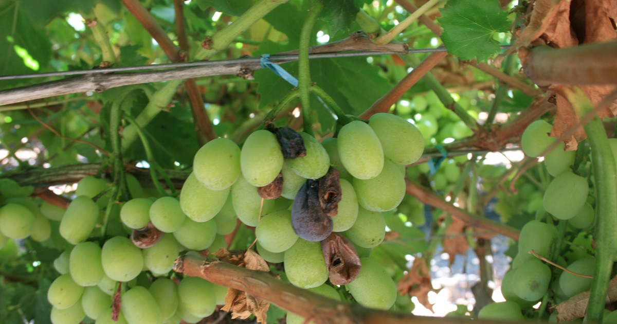 This agronomic image shows botrytis in grapes